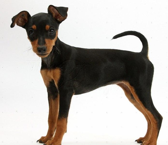 Потерялась собака - Карликовый пинчер, Черный, 1 год в ... | 600x695