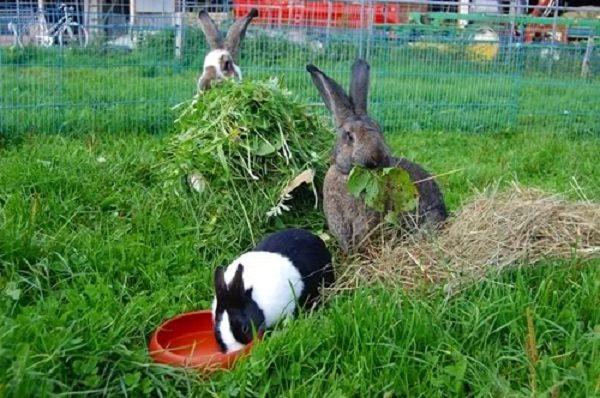 Кормление кроликов можно кроликам кабачки